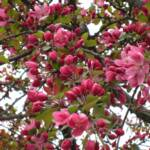 Anna Di Floria's view of the crab apple tree buds with some flowering.