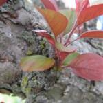 Beth Plenn's study of small red leaves on mixed color bark.